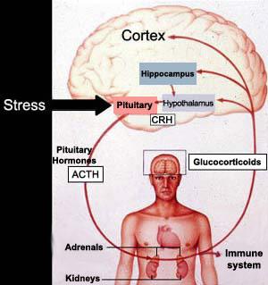 Cissus Cortisol Inhibitor