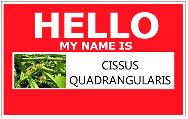 Other Names for Cissus Quadrangularis